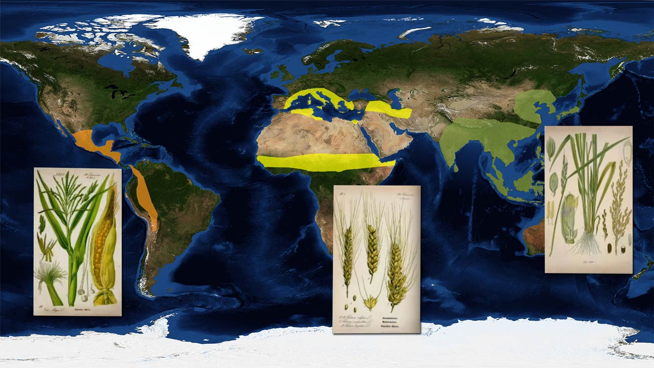 Origin of rice wheat and corn
